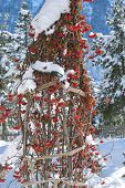 Rowan Berries Under Snow