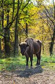 Romanian Buffalo In Autumn Light
