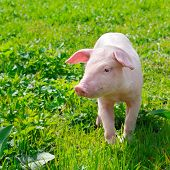 foto of baby pig  - A funny pig on a green grass - JPG