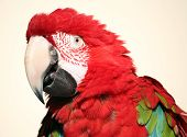 Scarlet Macaw Fluffed Head Shot
