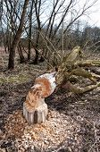 Tree felled by beaver in forest