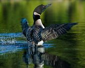Common Loon Dance