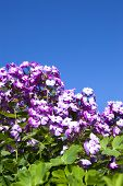 purple Phlox flowers  on sunny day.