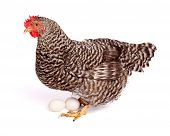 Speckled Chicken With Eggs