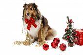 Elegant shetland sheepdog with christmas ornaments