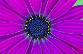 Deep Purple Osteospermum African Daisy
