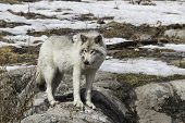 Wolf in a wintery landscape