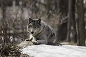 picture of wolf-dog  - A wolf in a forested, winter landscape ** Note: Soft Focus at 100%, best at smaller sizes - JPG