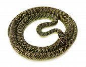 picture of green snake  - green snake on white background - JPG