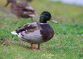 Portrait of a wild duck