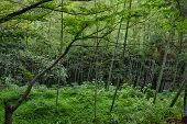 stock photo of bamboo forest  - Bamboo forest in botanical garden Georgia Batumi Black Sea coast - JPG