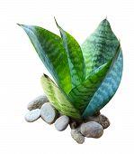 image of sansevieria  - Sansevieria trifasciata snake plant isolated on white background - JPG