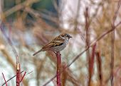 Single Sparrow Sitting On A Single Vertical Red Twig