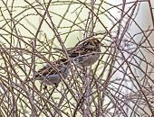 Two Sparrows Sitting Amids Thorny Leafless Twigs