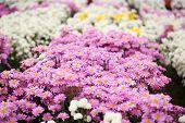 picture of chrysanthemum  - beautiful Chrysanthemum flower blooming in the garden - JPG