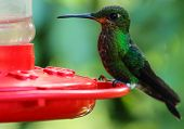Green hummingbird perched on a feeder in Monteverde Biological Reserve, Costa Rica