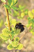 picture of bumble bee  - Bumblebee collecting nectar on flowering blooming and blossoming willow bush - JPG