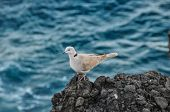 foto of nea  - Pigeon on the Volcanic Rocks nea Atlantic Ocean - JPG