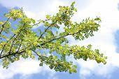 Yellow Acacia At Spring
