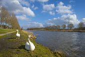 Swans on the shore of a canal in winter