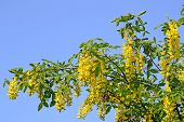 Laburnum Tree Blooming