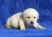 Nice Yellow Labrador Puppy Laying On The Blue Background