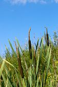 foto of cattail  - Cattails and reeds with a blue sky - JPG