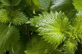 Green Nettles