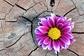 Pink flower on aged wood