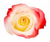 Bicolored Rose On White