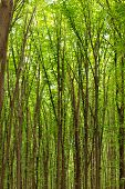 Beech Tall Green Trees In Spring Forest