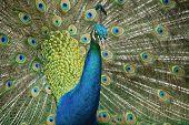 Close Up Peacock Displaying Plumage