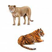 Lioness - Panthera leo, Portrait of Bengal Tiger, Panthera tigris tigris, laying in front of white b