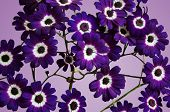 Purple Cineraria Isolated