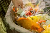 Feeding hungry fancy carp fish in the pool.