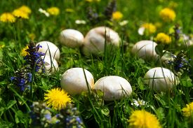 picture of fairy  - Mystical beautiful fairy ring of white mushrooms - JPG