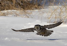 stock photo of owl eyes  - Low flying Northern Hawk Owl raptor - JPG
