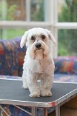 stock photo of grooming  - Sad Maltese dog is sitting on the grooming table and looking to the camera. Vertically. ** Note: Visible grain at 100%, best at smaller sizes - JPG