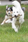 stock photo of swiss shepherd dog  - White Swiss Shepherd Dod is fetching outdoors. Another dog is running behind.