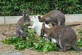 image of wallabies  - grazzing family of cute Red necked Wallaby kangaroo with baby in bag and with white albino female - JPG