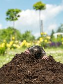 picture of mole  - Mole poking out of mole mound - JPG