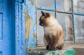 foto of siamese  - Graceful Siamese cat with blue eyes sitting at the doorway - JPG