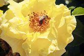 image of diligent  - Diligent honeybee  - JPG