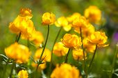 picture of cowslip  - yellow flowers italmas on a green meadow  - JPG