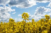 pic of rape-field  - Canola field with canola oilseed and yellow rape flowers - JPG