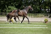 foto of foal  - a small brown Warmblood foal with broodmare at a sales event - JPG