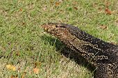 image of lizards  - Water monitor Lizard Varanus salvator Animal of Thailand - JPG