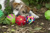 picture of puppy eyes  - Cute puppy eyes with ball toys outdoors. ** Note: Shallow depth of field - JPG