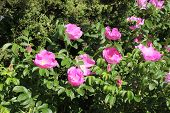 stock photo of rose sharon  - Beautiful Rose of Sharon Flowers in Spring - JPG