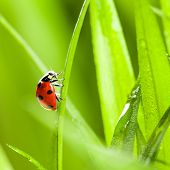 pic of ladybug  - Ladybug on Green Grass Over Green Bachground - JPG